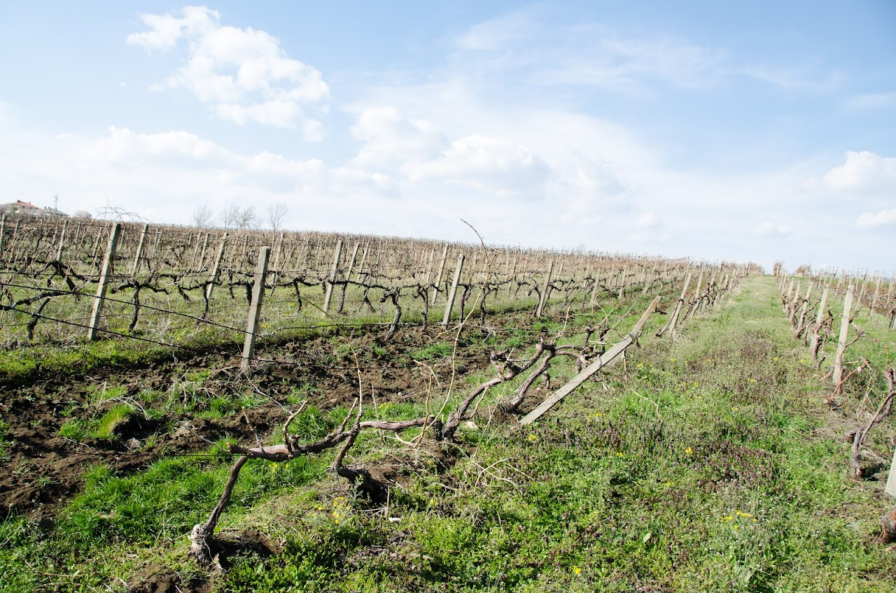 Ivailovgrad vineyards