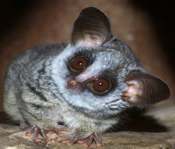 The Bush Baby is a Prosimian Primate