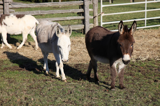 Mini-donks measure about 36-inches tall at their withers, or front shoulders and they come in all donkey colors.