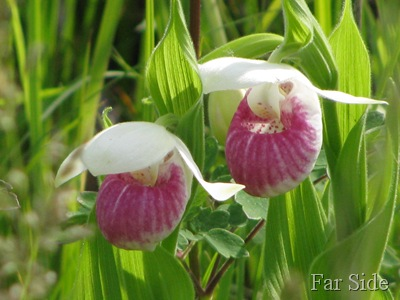 Two Lady Slippers