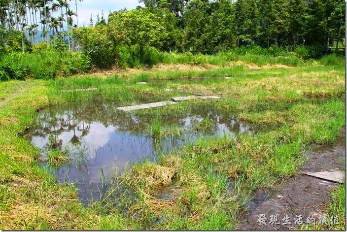 南投頭社活盆地。接著就要來體驗一下早期先民在泥沼地走路耕種的感覺了,農家已經先在爛泥巴田下面墊了木板,只要沿著木板行,並不會太困難,但是越後面走的人就越辛苦囉!