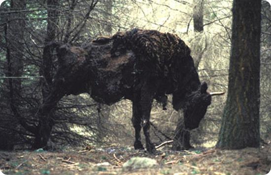 sally matthews bison