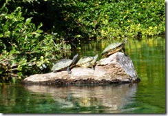 Turtles sunning on the Rainbow River