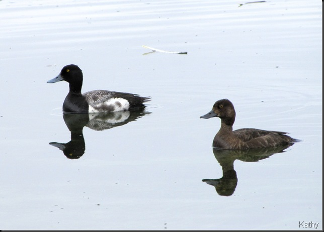 Pair of Lesser Scaup