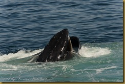 Humpback Whale with Mouth open
