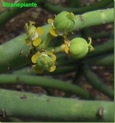 Euphorbia sp capsule semi