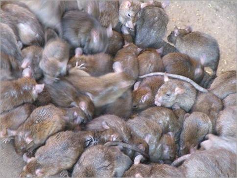 Rats 010