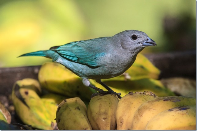 Sayaca_Tanager-1