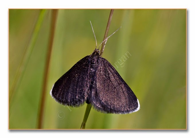 Day Moth 15  Chimney Sweeper