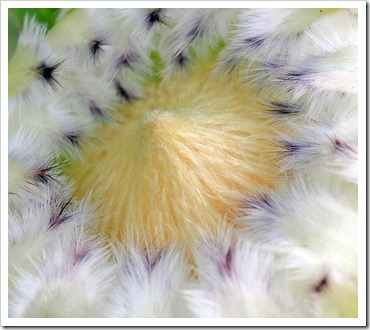 111015_Santa-Cruz_UCSCA_Protea-obtusifolia_07
