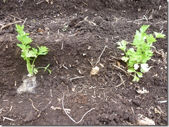 Once the bell-shaped root volume is laid in the planting trench (left) one need only push soil around it and pat it down (right)