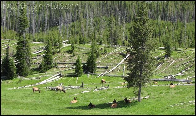 IMG_7751Hillside Elk