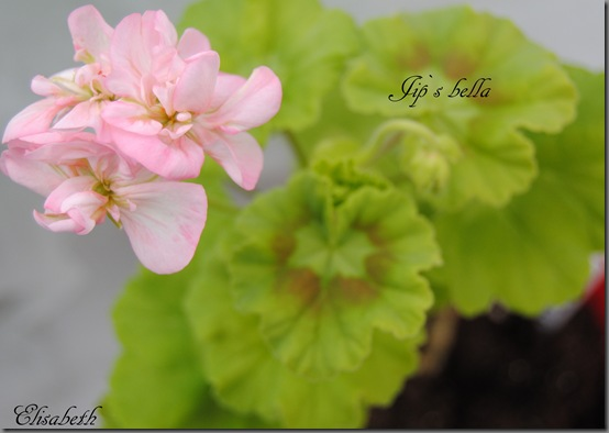 Pelargonium april 2012 021