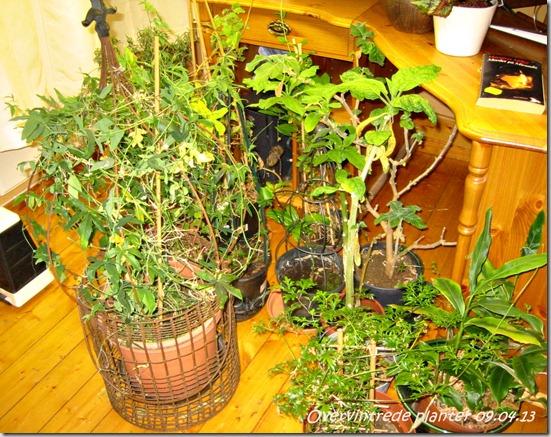 overvintrede planter