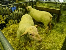 2015.02.26-024 mouton rouge de l'Ouest