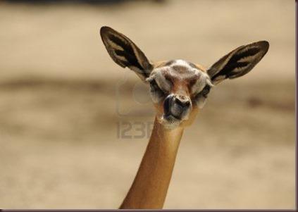 Amazing Animal Pictures Gerenuk (7)