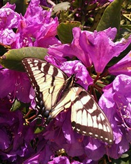 butterfly on rhodendron June 2013