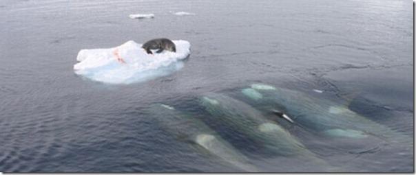 Nenhuma chance para a foca (2)