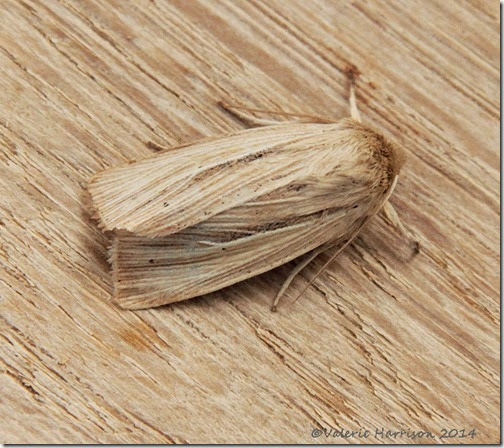 Common-Wainscot