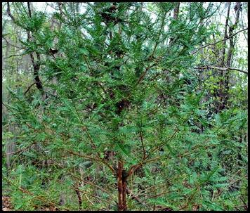01b - Torreya Tree