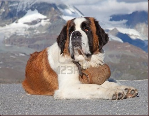 Amazing Animal Pictures St Bernard (1)