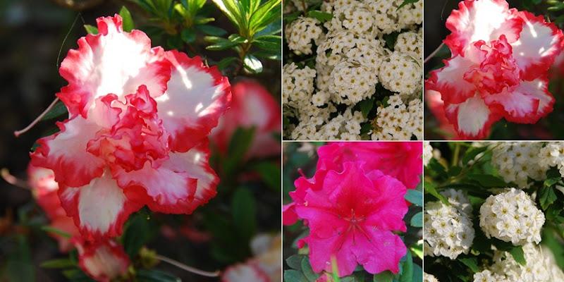 Ver Azaleas e flores da Páscoa