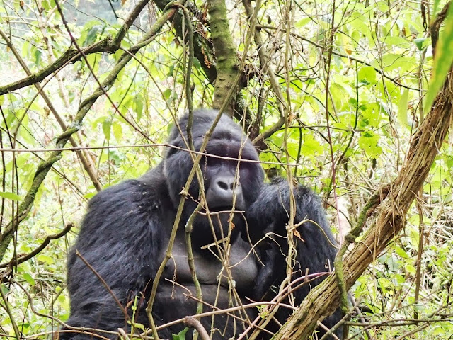 Gorilla Tracking 063.JPG