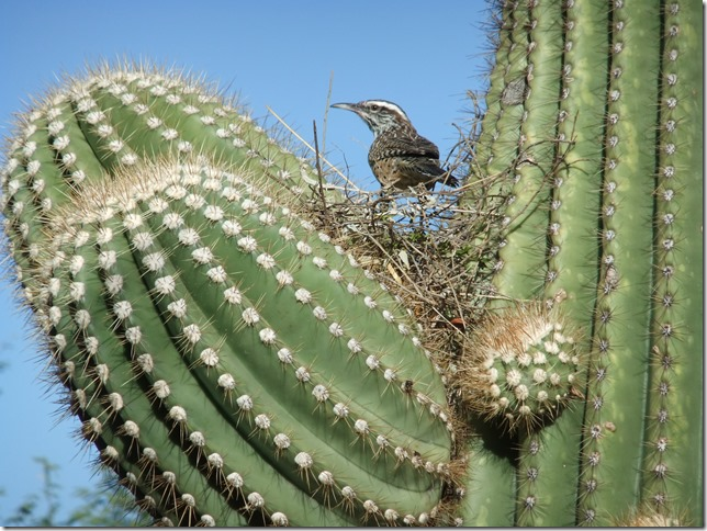 Cactus Wren Building Nest in Saguaro