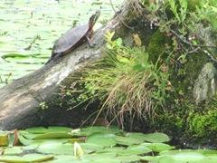 turtle sunning2