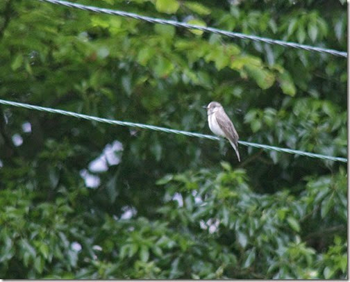 1-spotted-flycatcher