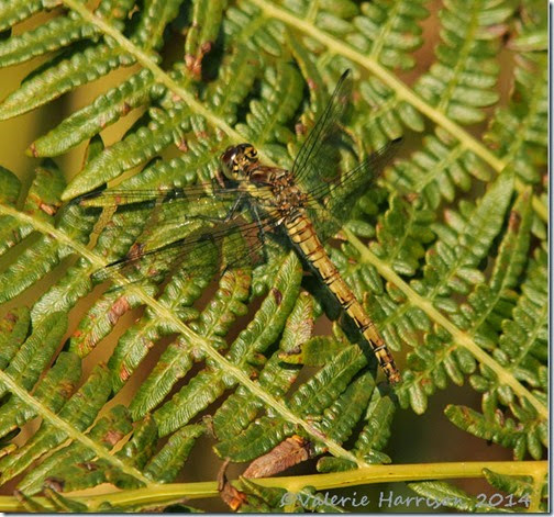 16-common-darter