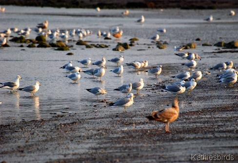 8. gulls-kab