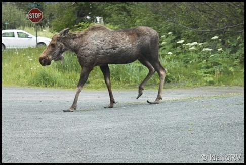 Moose-5
