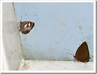 Arhopala paraganesa mendava_MYFH_20110808_N147