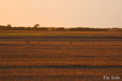 Canada Geese in the stubble