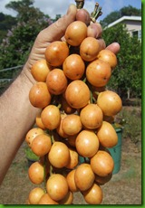 Baccaurea ramiflora - Yellow Burmese Grapes
