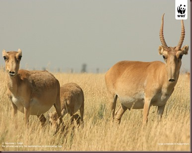 Amazing Animal Pictures The Saiga Antelope (12)