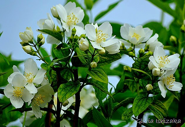 Glória Ishizaka - flor br 1