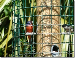 Male Painted Bunting at the birding station