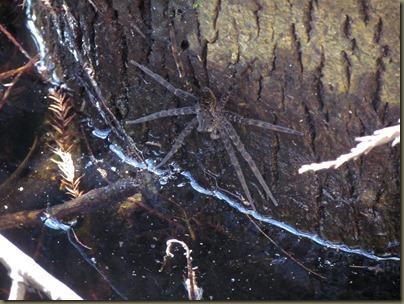 Okenofokee Spider