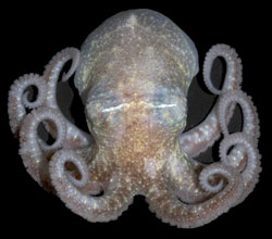 Turquets octopus