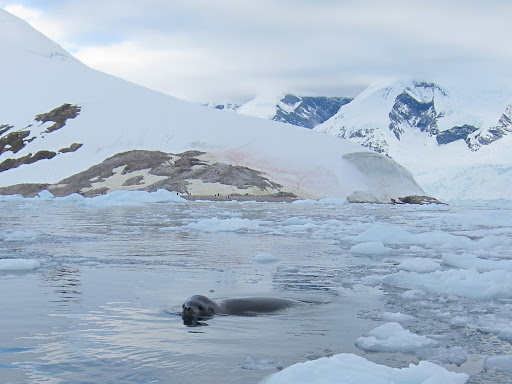 A seal following our zodiac in Neko Harbour.