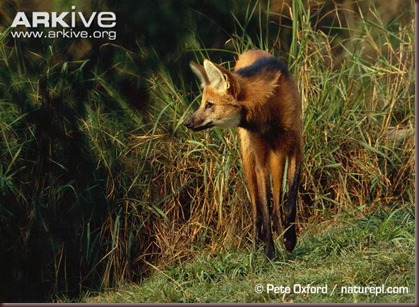 ARKive image GES017687 - Maned wolf