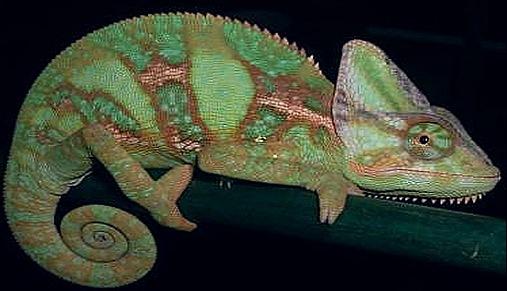 chameleon-reptiles