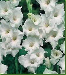 Gladiolus_white_prosperity