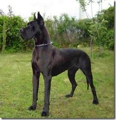 razas de perros grandes_13