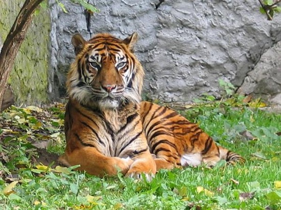 Panthera_tigris_sumatran_subspecies.img_assist_custom