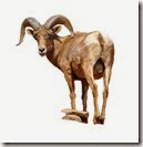 big horn sheep_edited-1