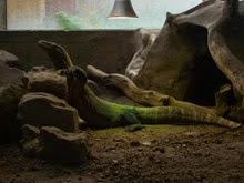 2013.10.26-047 varan de Komodo