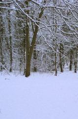 Snowy woods 500x755
